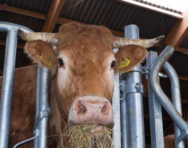 Koe - Natuur Boerderij Plassendaal