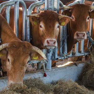 Koeien - Natuur Boerderij Plassendaal